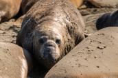 Jeune éléphant de mer en pleine mue sur la côte pacifique, Californie