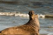 Elephant de mer avant de se jeter à l'eau sur la côte pacifique de Californie