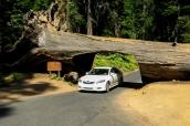 Tunnel creusé dans le tronc d'un séquoia géant, Sequoia National Park
