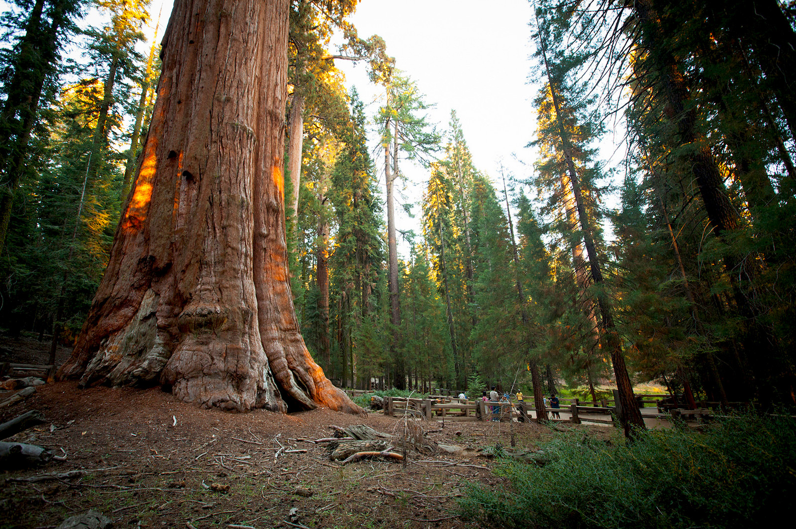sequoia-sherman-tree