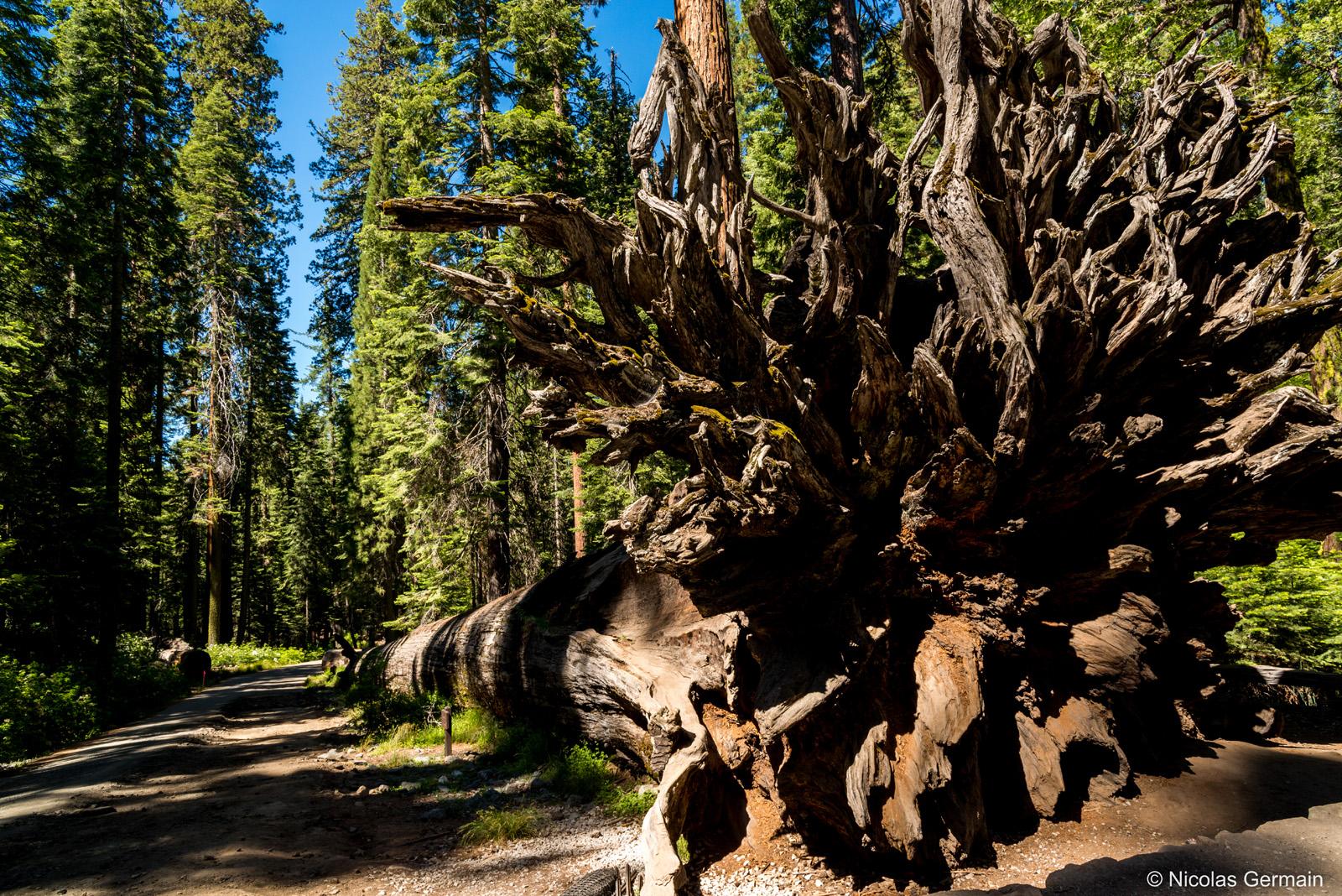 Un séquoia tombé dans Mariposa Grove, Yosemite National Park