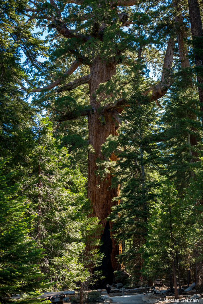 Séquoia Grizzly Giant dans Mariposa Grove, Yosemite