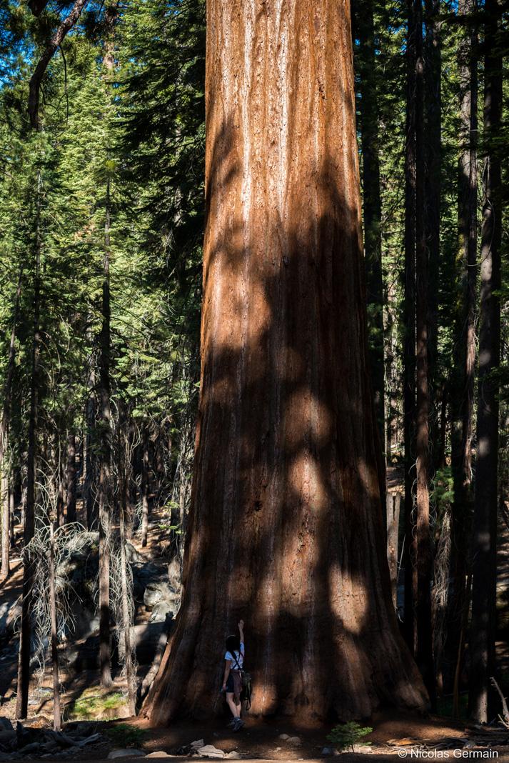 Echelle de taille entre un séquoia de Yosemite et un humain