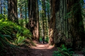 Enormes séquoias sur James Irvine Trail dans Prairie Creek Redwoods State Park