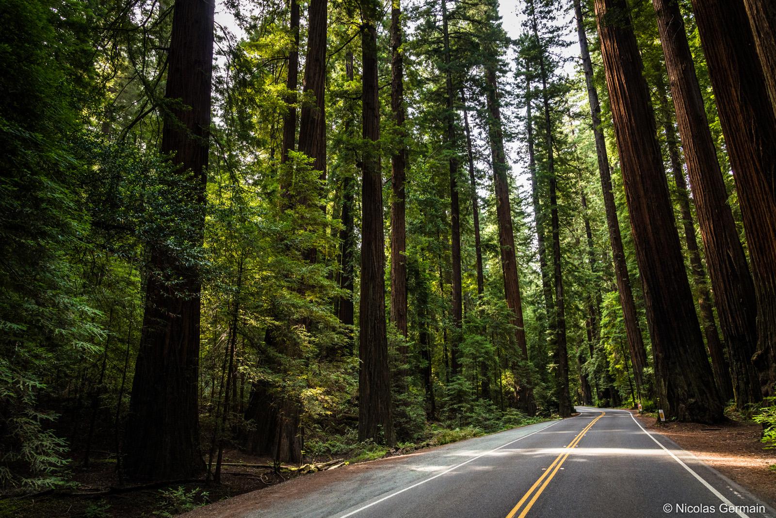 L'Avenue des Géants (Avenue of the Giants), bordée d'immenses pins et séquoias, dans le nord-ouest de la Californie