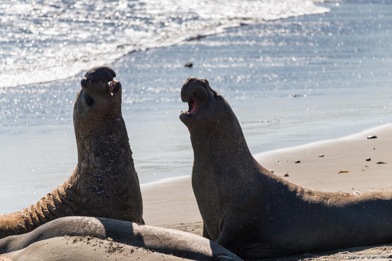 Deux éléphants de mer s'intimident sur la côte californienne au sud de Big Sur
