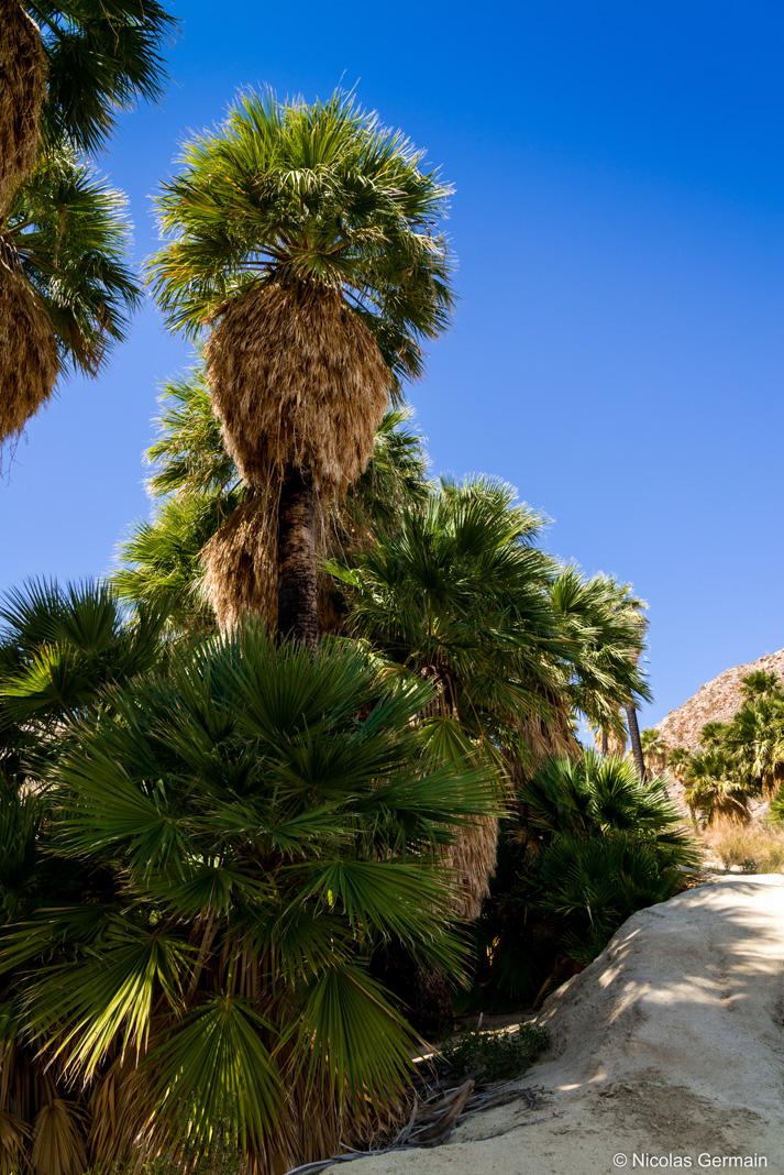 Au coeur de l'oasis et des palmiers de Palm Bowl à Anza Borrego, Californie