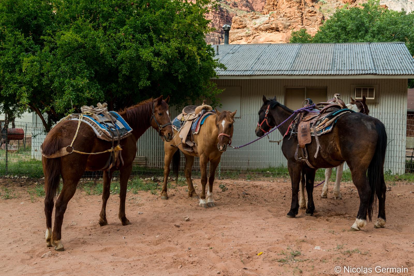 Chevaux prêts à effectuer la rempontée de Supai à Hualapai Hilltop, Arizona