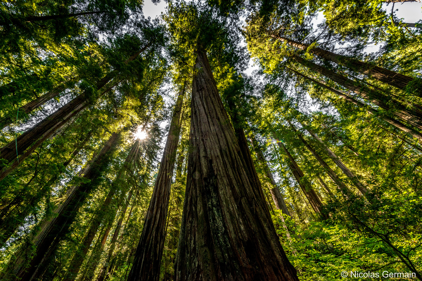 Séquoia géant de Stout Grove dans Jedediah Smith Redwoods State Park, Californie