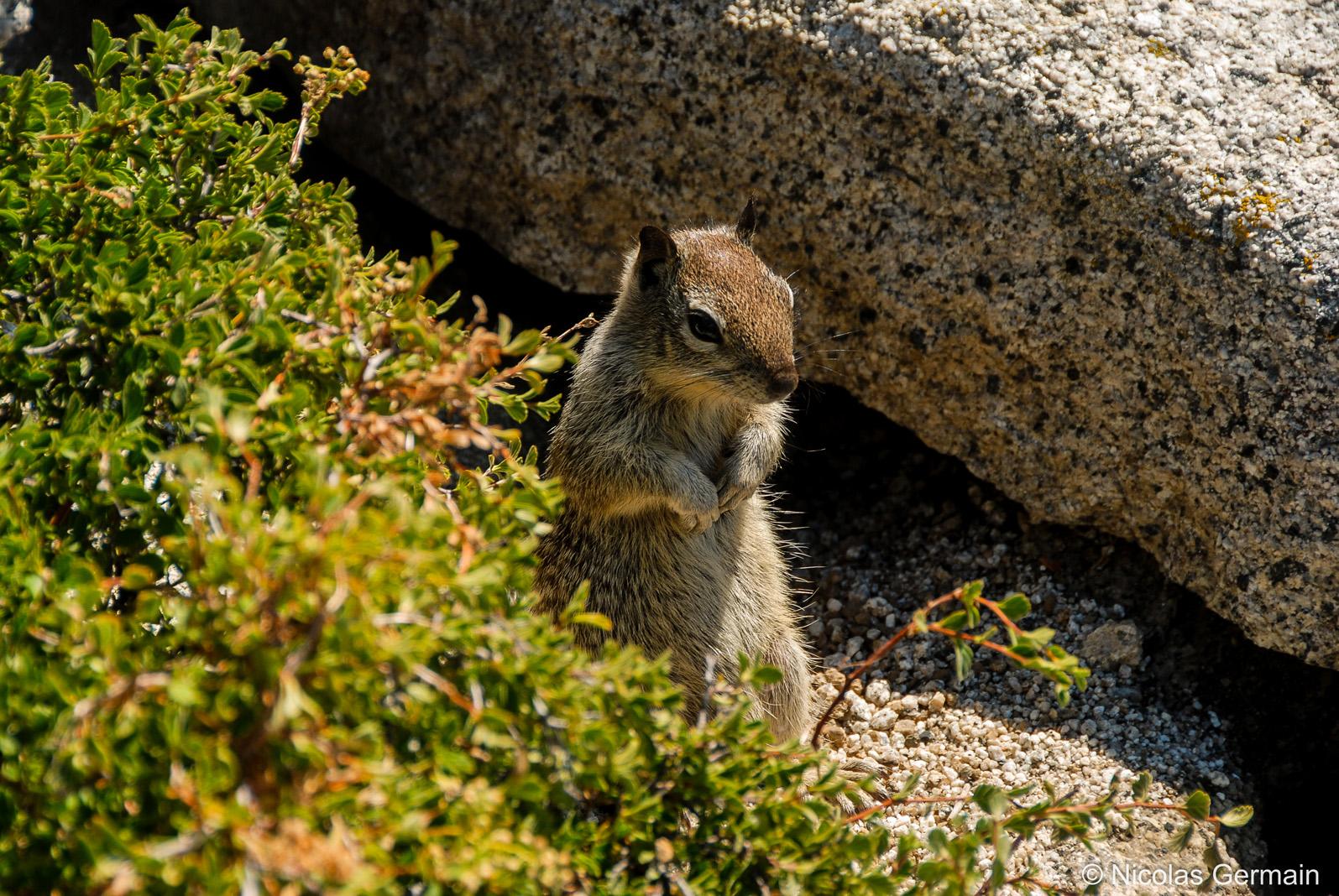 Ecureuil au sommet du Half Dome de Yosemite