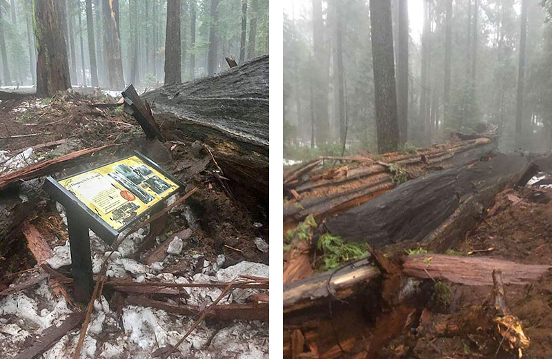 Le séquoia Pioneer Cabin Tree n'a pas résisté à la tempête en Californie