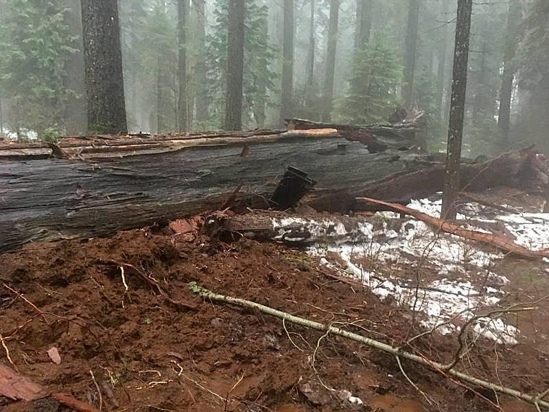 La tempête a fait tomber le séquoia Pioneer Cabin Tree dans le parc Calaveras Big Trees