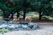 Des cerfs mulets au petit matin dans le camping Piñon Flats Campground, Great Sand Dunes