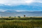 Rapace chassant au-dessus des hautes herbes marécageuses de Ruby Lake, Nevada