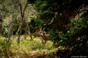 Cerfs mulets dans Great Basin National Park, Nevada