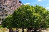 Un groupe de mouflons se met à l'ombre lors de la randonnée de Jones Hole Trail, Dinosaur National Monument