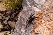 Une mygale vue le long d'un sentier de Chiricahua