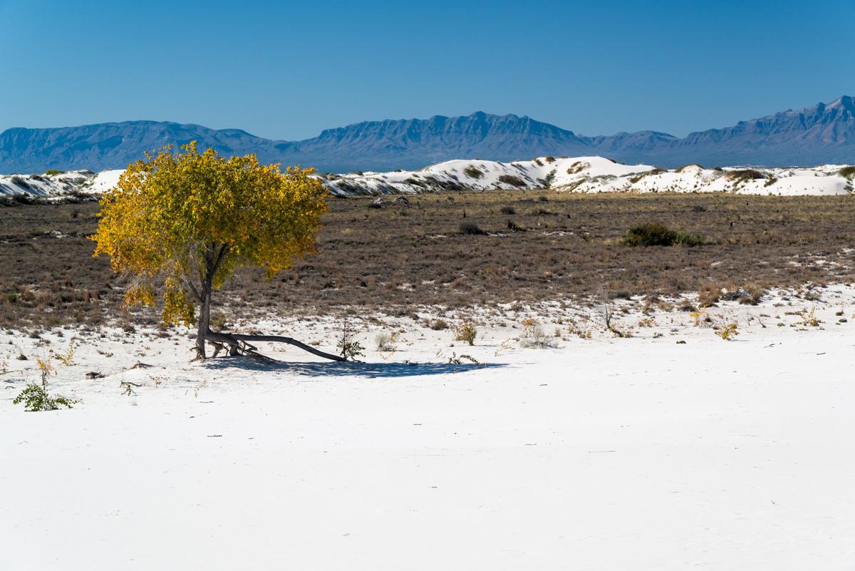 Un cottonwwod en milieu d'automne parvient à pousser dans le désert blanc de White Sands