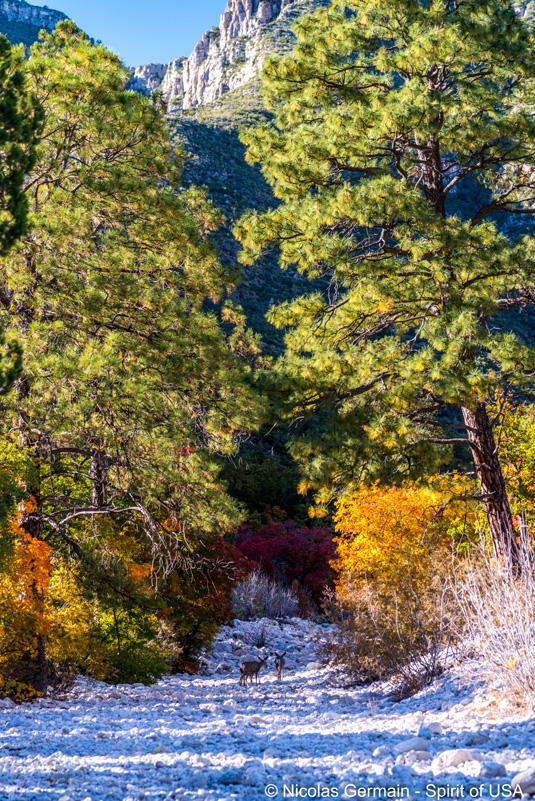 Mule Deers près du sentier de McKittrick Canyon, Guadalupe Mountains