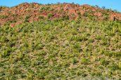 Nombreux organ pipe cactus vus de Desert View Trail