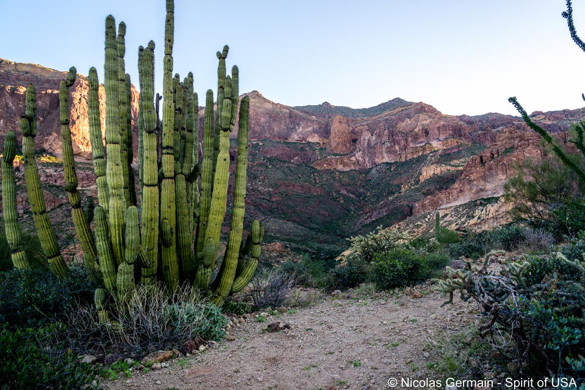 Organ Pipe Cactus le long du sentier d'Estes Canyon vers Bull Pasture