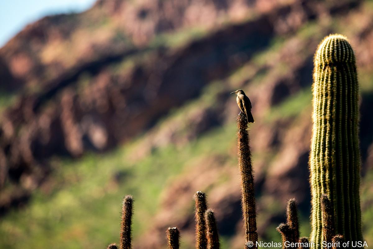 Moqueur à bec courbe (curved bill thrasher) sur un cactus organ pipe désseché