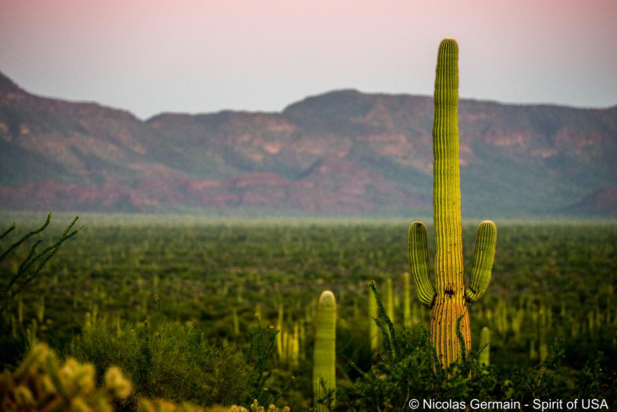 Saguaro dans Organ Pipe Cactus au coucher du soleil