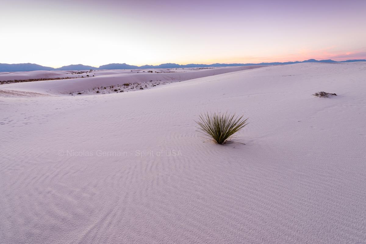 Herbes alcali sur les dunes de White Sands après le coucher du soleil