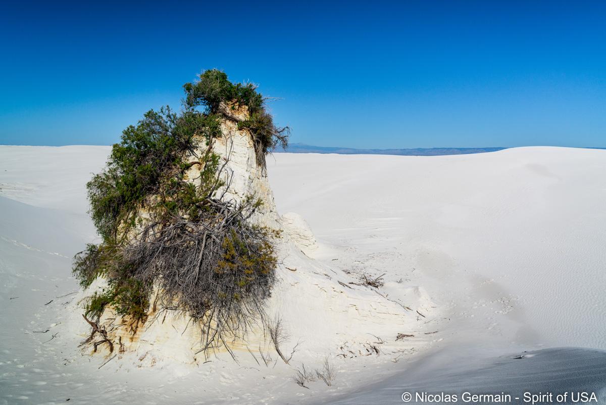 Un Skunkbush Sumac sur une butte de gypse durci dans White Sands