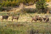 Un groupe de cerfs mulets sur le sentier de Cable Mountain, Zion