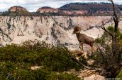 Un bighorn (mouflon) en haut de Deertrap Mountain, Zion