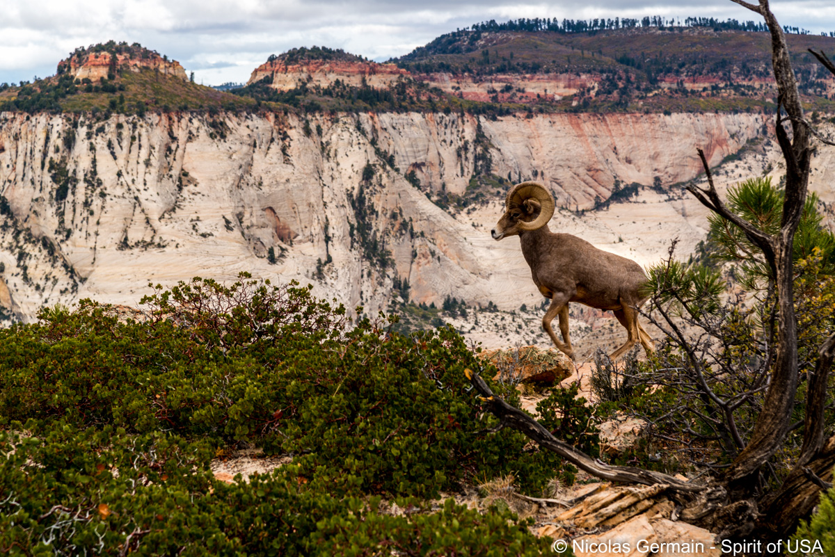 Un bighorn sorti de nulle part à Deertrap Mountain, Zion