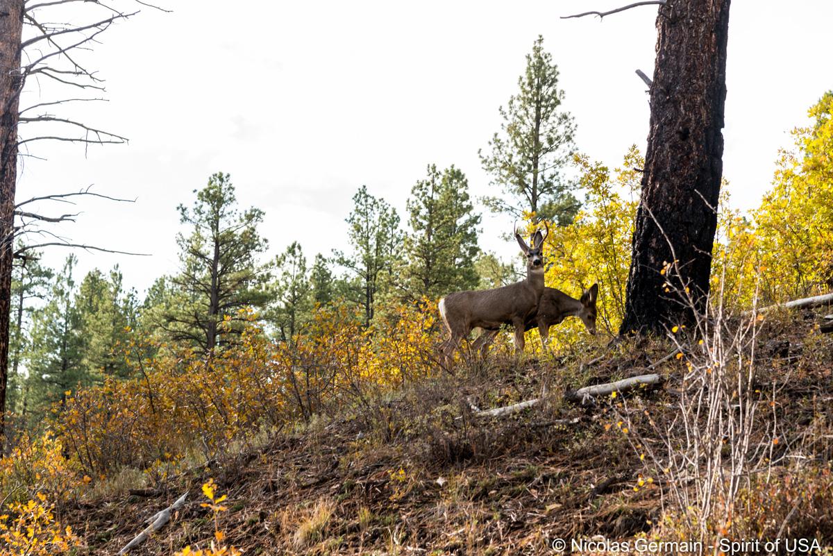 Mule deer (cerf mulet) près du sentier de Cable et Deertrap Mountain, Zion