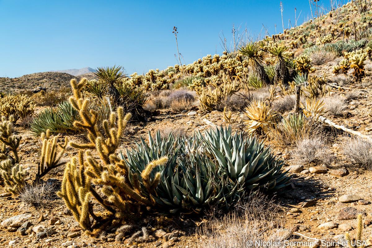 Cholla Cactus et agaves font partie de la végétation d'Anza Borrego Desert