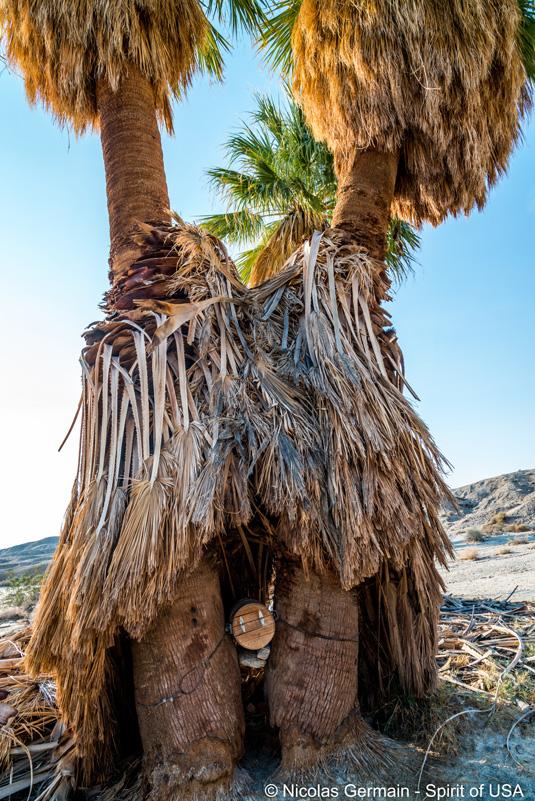 Petit tonneau caché entre deux palmiers à Seventeen Palms, Anza Borrego