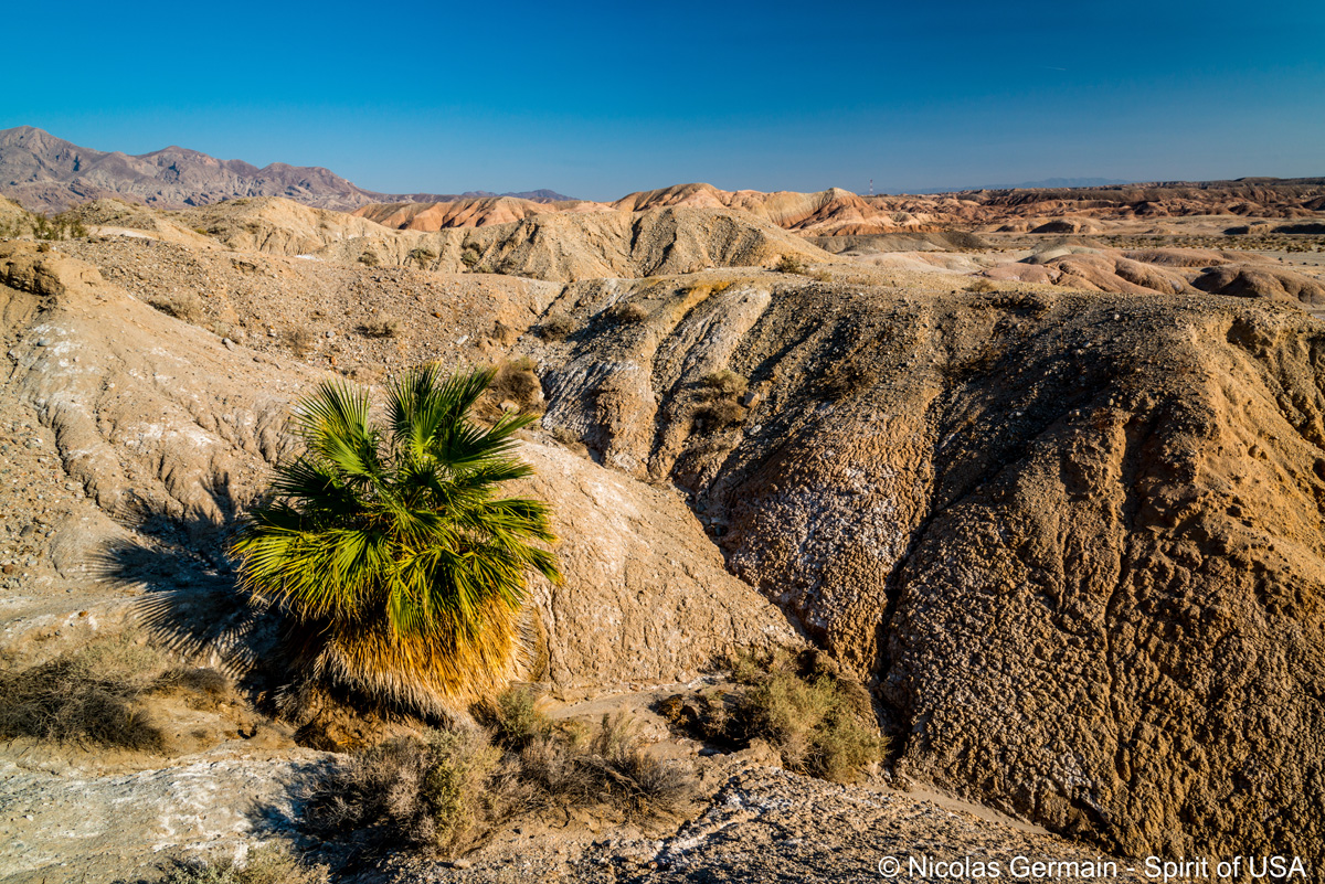 Palmier esseulé à Una Palma, Anza Borrego
