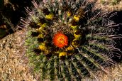 Fishhook Barrel Cactus en fleur, Saguaro National Park
