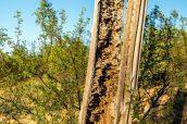 Un saguaro mort et coupé en deux