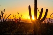 Un saguaro au coucher du soleil dans Saguaro National Park, partie Est