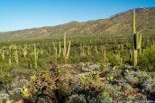 Saguaros et montagnes Rincon vues de Pink Hill Overlook, Saguaro East
