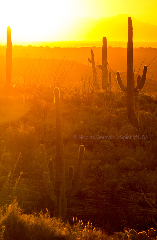 Saguaros au coucher du soleil, Saguaro East