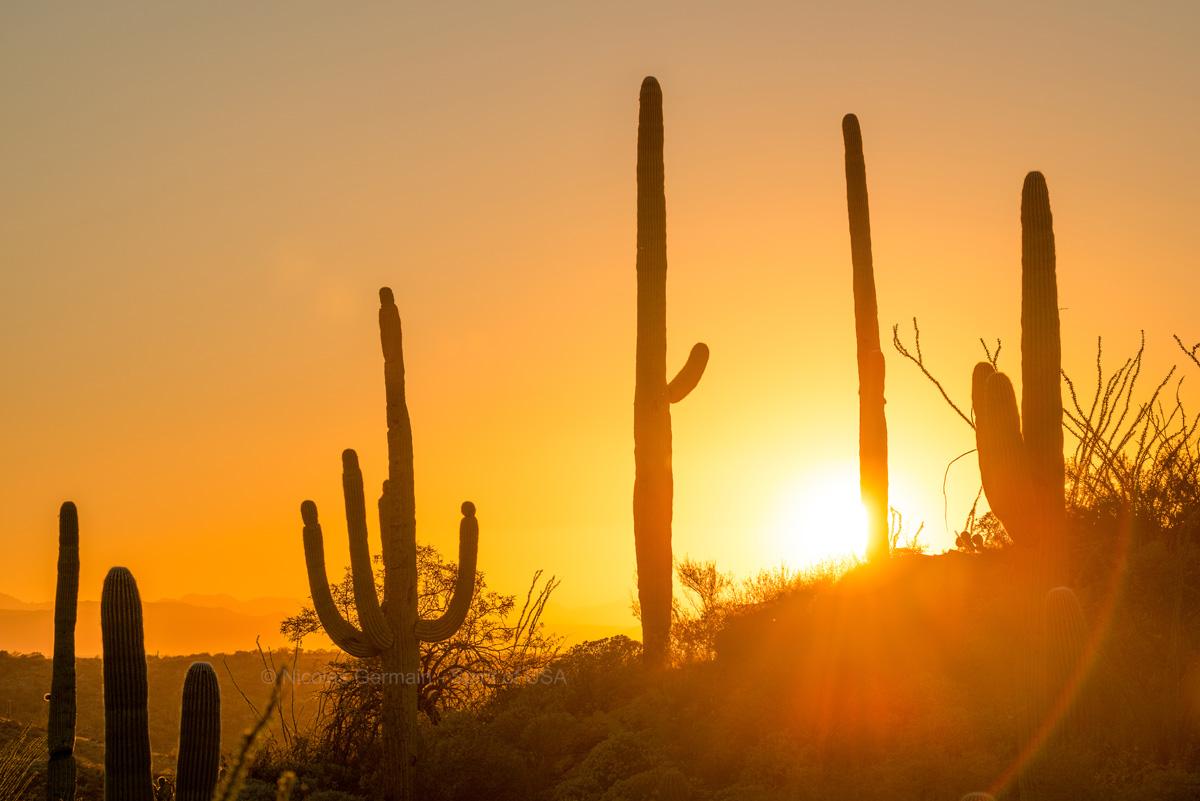 Saguaros au coucher du soleil