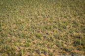 Forêt de cactus, Saguaro West