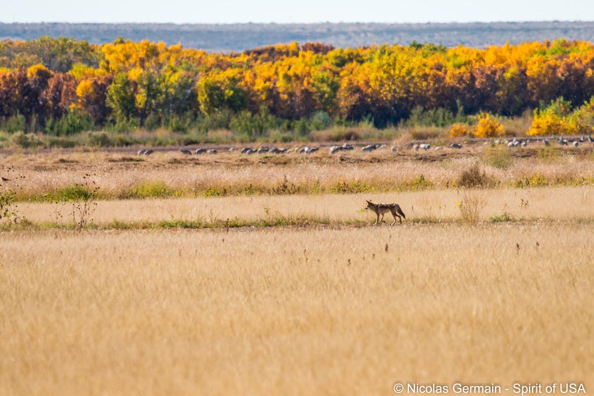 Un coyote dans Bosque Del Apache, Nouveau-Mexique