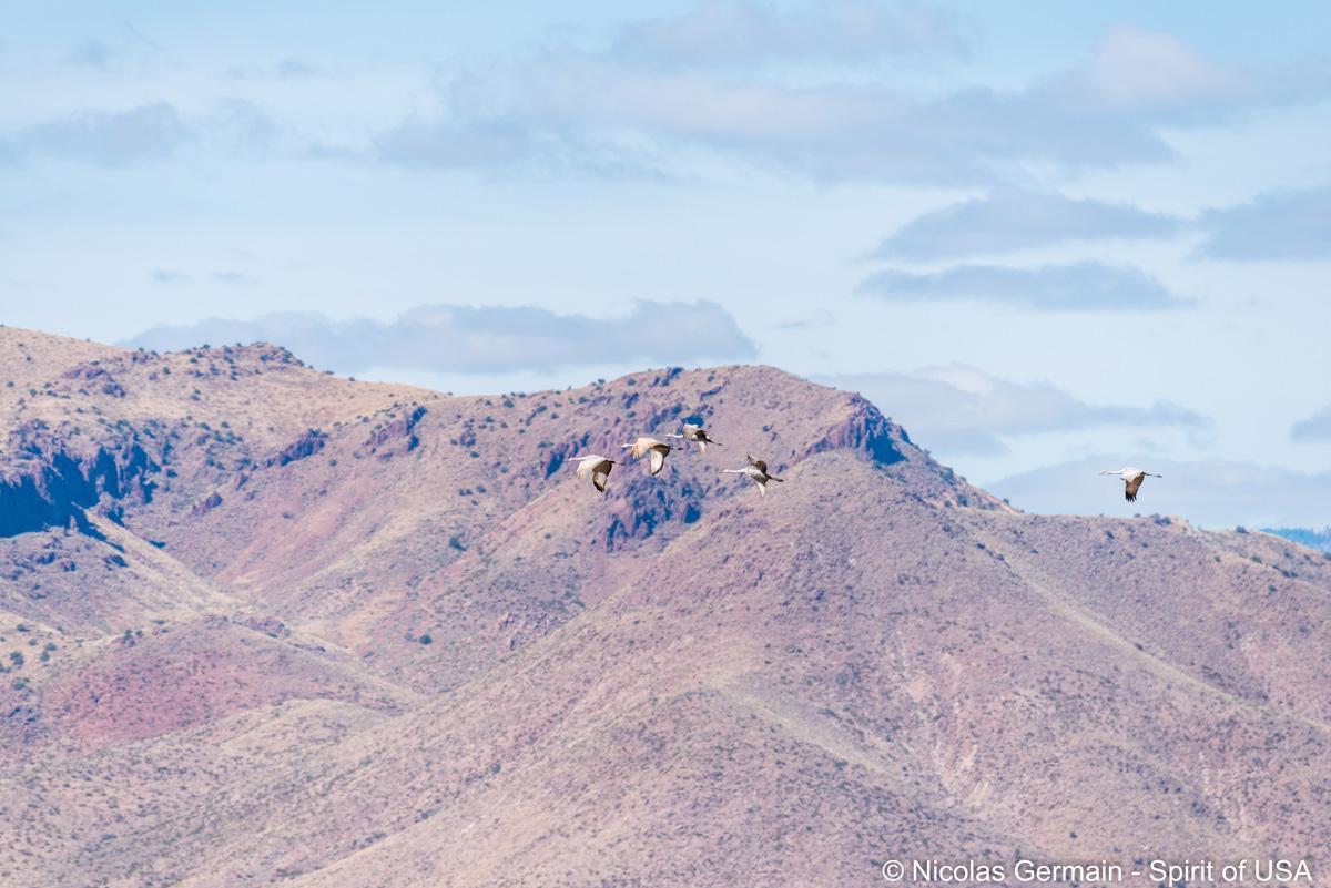 Grues du Canada survolant Bosque Del Apache