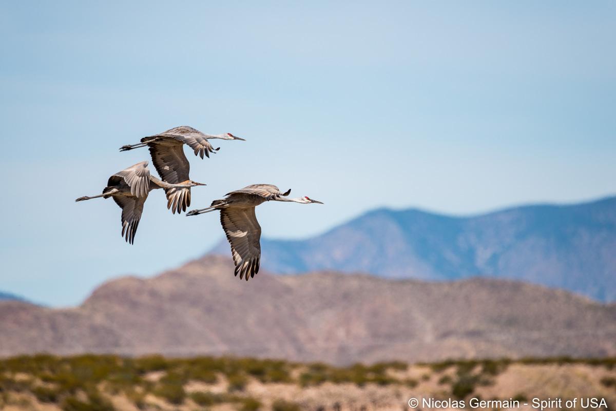 Les grues du Canada (sandhill cranes) ont belle allure en plein vol au-dessus de Bosque Del Apache