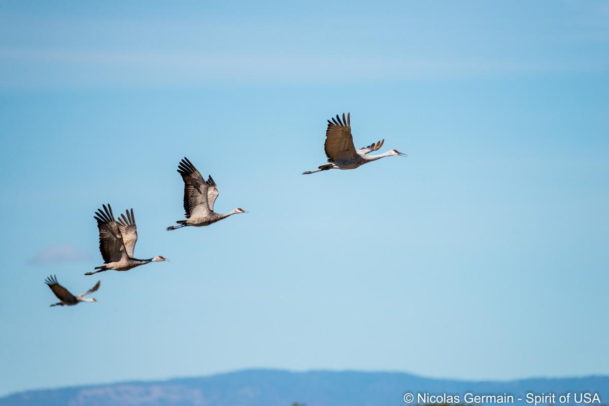 Petit groupe de grues du Canada en vol, Bosque Del Apache