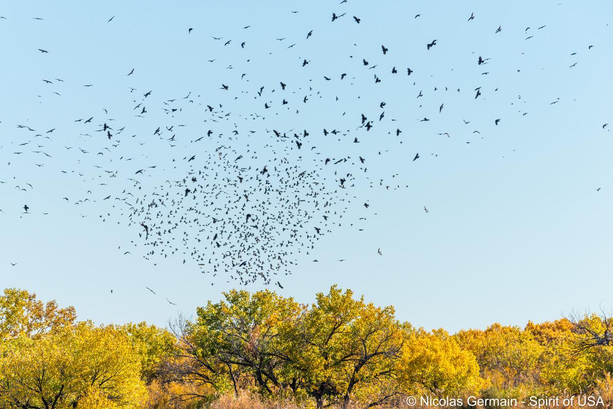 Volée d'oiseaux au-dessus d'un marais de Bosque Del Apache