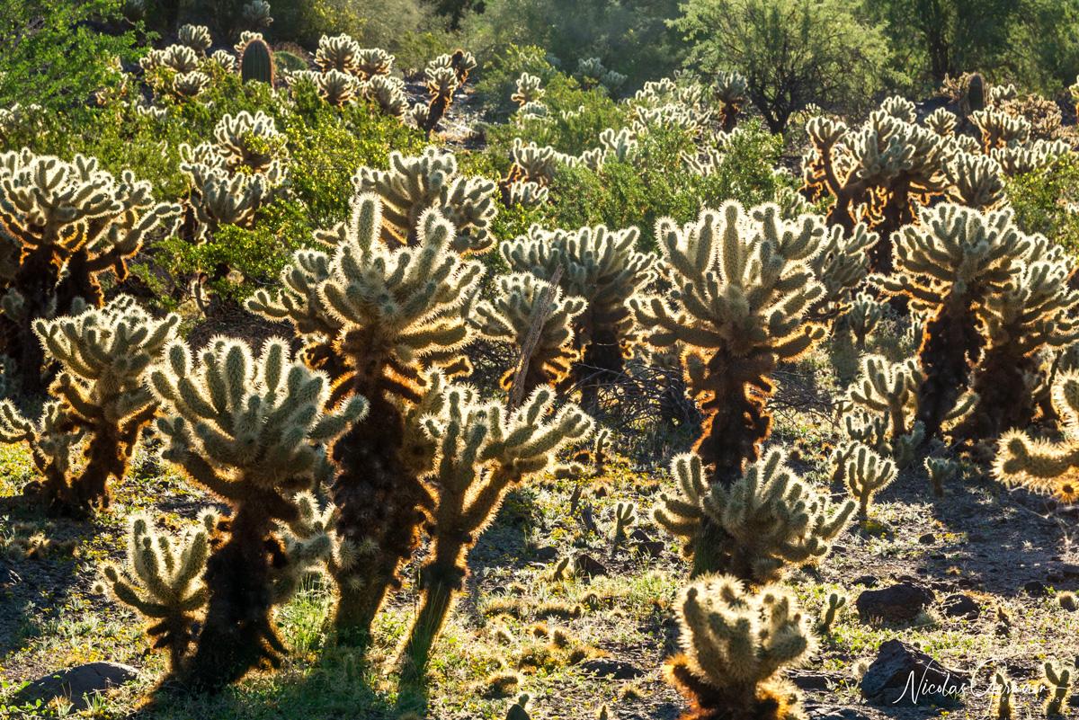 Chollas Cactus à Charlie Bell Pass, Cabeza Prieta