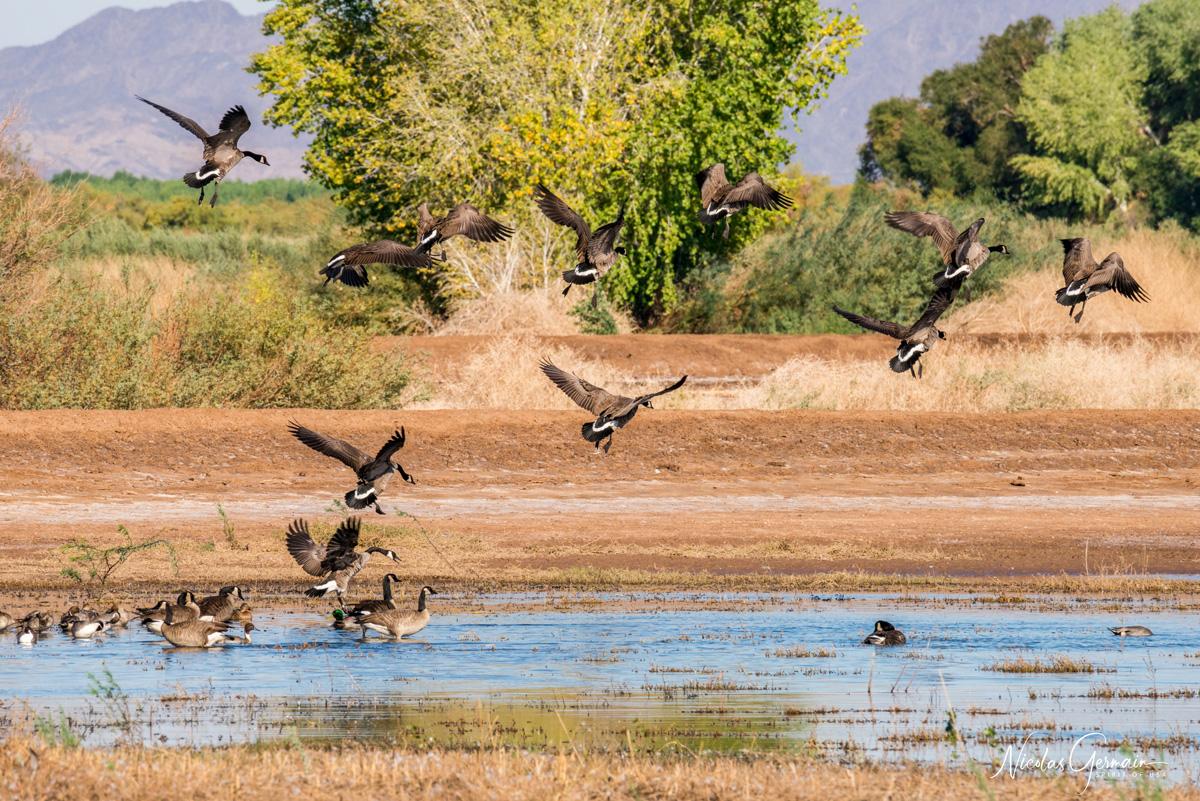 Envol de bernaches à Cibola National Wildlife Refuge